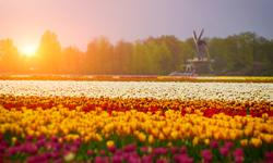 Last Minute Holland Tulpen