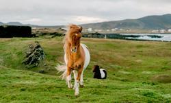 Island Pony Last Minute