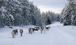 Ski Finnland Rentiere Winter